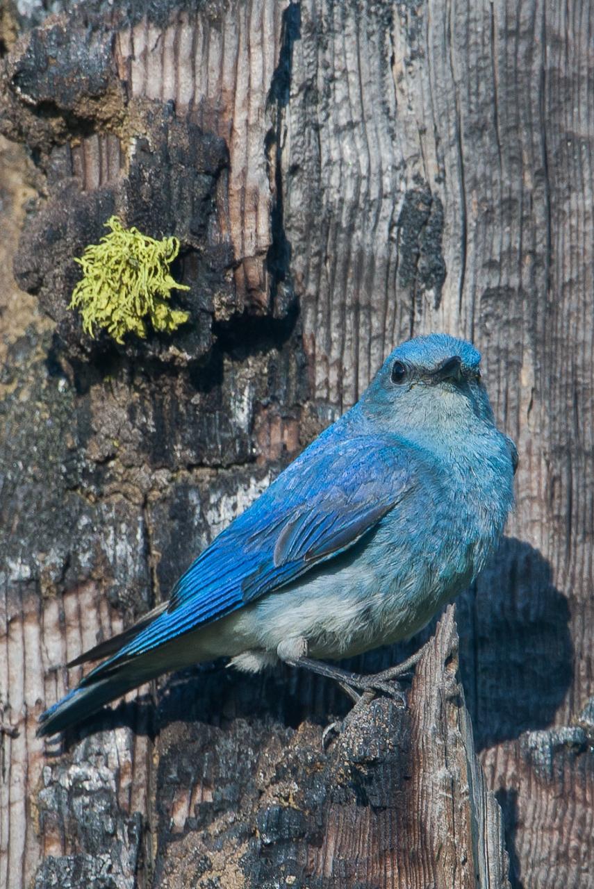 nl_bluebird