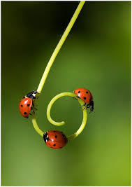 nl_ladybug spiral