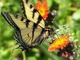 nl_butterfly1
