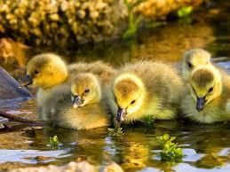 nl_ducklings