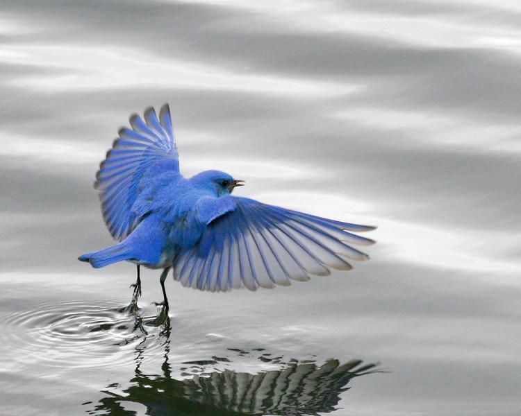 nl_bluebird_judi_rice