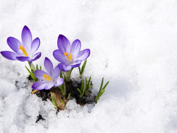 nl_snow_flowers2