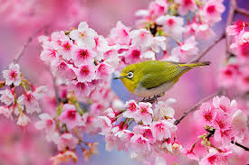 nl_spring_bird_cherry
