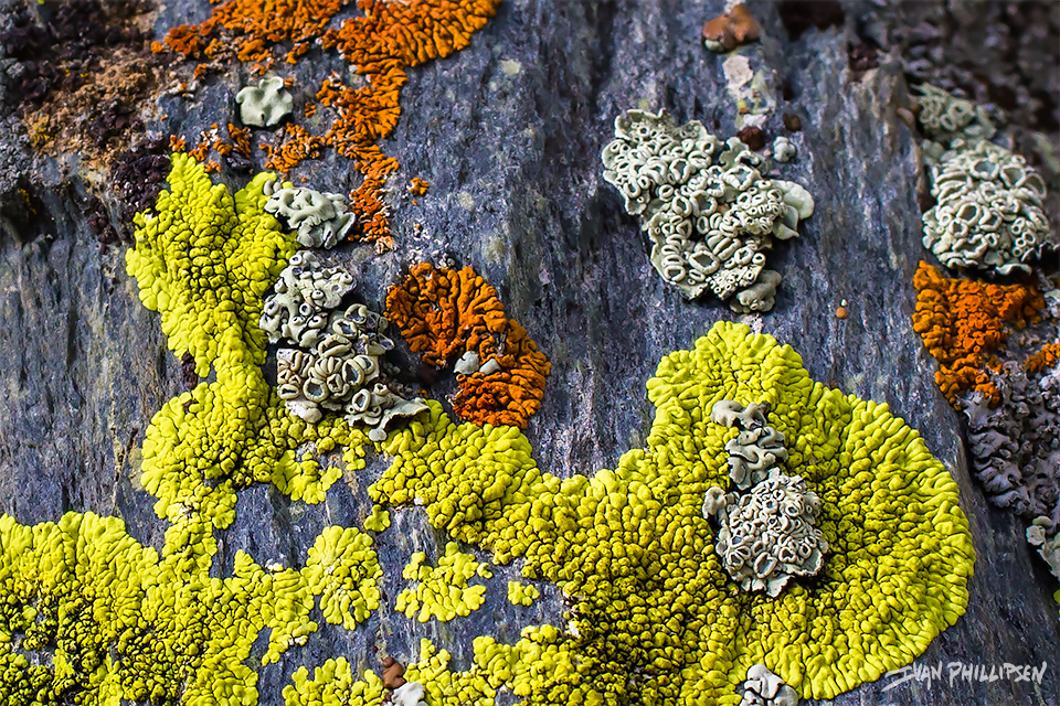 nl_Crustose-lichen-2